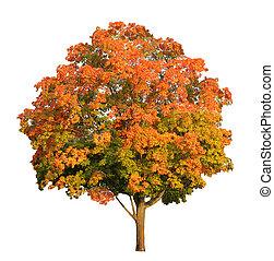 切り抜き, 白, 木, 隔離された, 砂糖, 秋, included, 道, かえで