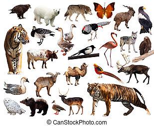 動物群, アジア人