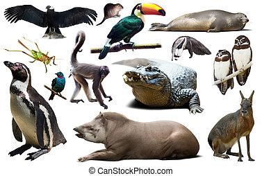 動物群, 南, セット, アメリカ