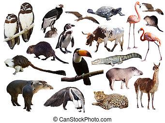 動物, セット, 白, 上に, 南アメリカ人