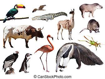 動物, 南アメリカ, 他, anteater, 巨人