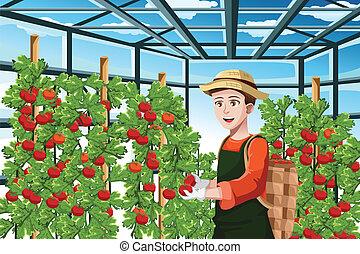収穫する, 農夫, トマト