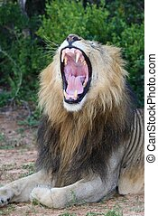 口, 提示, 開いた, ライオン, 歯