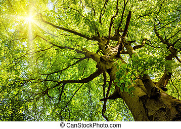 古い, 太陽, 木, によって, ブナ, 照ること