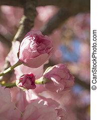 咲く, 日本語, さくらんぼ, 花, (prunus, sakura, 背景, ピンク, 終わり, 柔らかい, の上, フォーカス, 自然, serrulata), ∥あるいは∥, つぼみ, 花