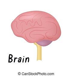 器官, 脳, 健康, イラスト, 側, 解剖学, ベクトル, 人間, 光景, 内部