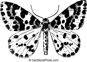 型, moth, engraving.