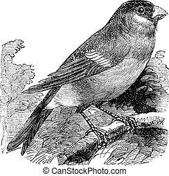 型, pyrrhula, ユーラシア人, pyrrhula, ∥あるいは∥, bullfinch, engraving.
