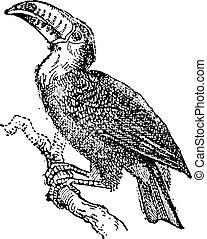 型, toucan, engraving.