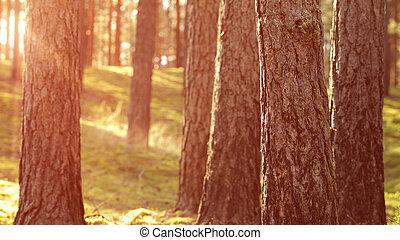 夏, 暖かい, 日没, 森林, 松