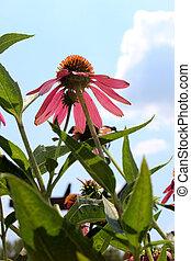 夏, 紫色, 上に, 空, echinacea のpurpurea, 明るい, coneflower