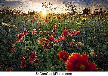 夜明け, 野生の花, 上に, テキサス, 風通しが良い