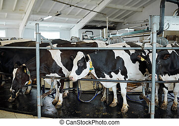 大きい, 安定した, 媒体, ミルク, 牛, グループ, ∥あるいは∥, 横列, 地位, 停止