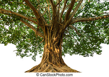 大きい, bodhi, 木
