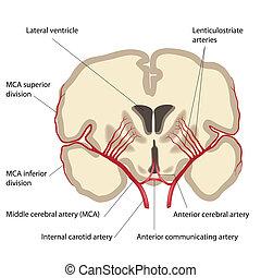 大脳である, 中央, 動脈, eps8
