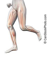 女, 足, -, 目に見える, ジョッギング, 筋肉