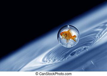 小滴, 金魚, 捕えられた