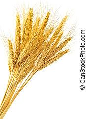 小麦, 隔離された, 耳