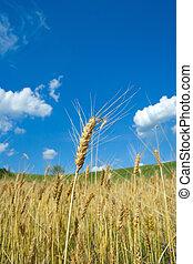 小麦, fileld
