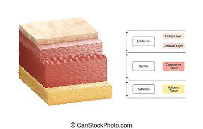 層, 人間の皮膚