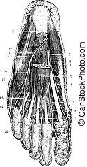 層, 後で, 帯状面, illustration., 辞書, 1885., 型, 底, -, 表面, 撤去, 皮膚, labarthe, subcutaneous, 薬, ポール, 刻まれる, フィート, 普通