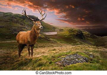 山, 鹿, 雄鹿, 劇的, 日没, 赤, 風景, むら気である