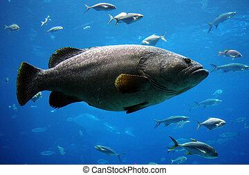 巨人, grouper