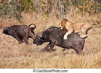 巨大, ライオン, 攻撃, 雄牛, マレ, バッファロー