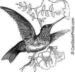彫版, colubris, 型, ruby-throated, archilochus, ∥あるいは∥, ハチドリ