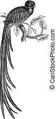 彫版, quetzal, 型, 燦びやか, pharomachrus, mocinno, ∥あるいは∥