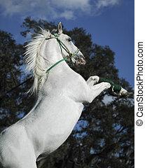 後ろ足で立つ, 白, 種馬