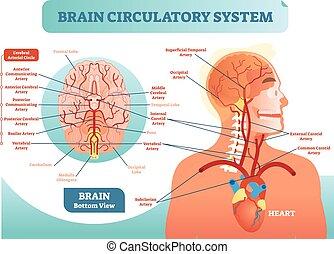 循環, diagram., ネットワーク, 大脳である, scheme., システム, イラスト, 解剖, 脳, ベクトル, 血, 人間, 薬, information., 容器