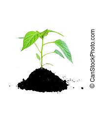 成長する, 土壌, 植物, 緑