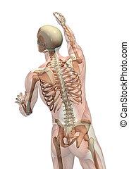 手を伸ばす, 回転, semi-transparent, スケルトン, -, 筋肉