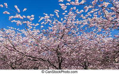 日本語, 木, 開くこと, さくらんぼ