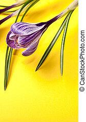 春の花, 背景, クロッカス