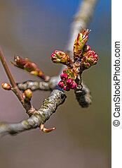 春, つぼみ, さくらんぼ