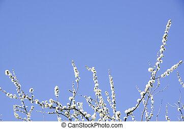 春, 咲く, 木, さくらんぼ