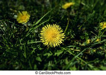 春, 黄色, タンポポ