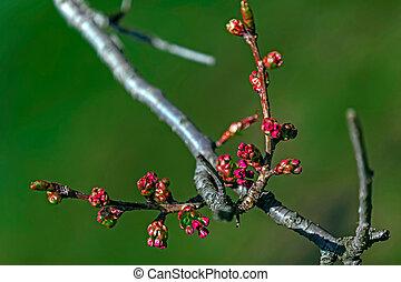 春, 2, つぼみ, さくらんぼ