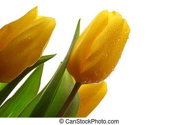 春, 3, 黄色, チューリップ