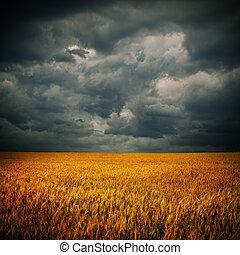 暗い雲, 上に, ムギ 分野
