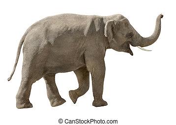 朗らかである, 白, 隔離された, 象