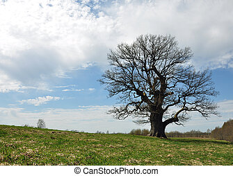 木, オーク