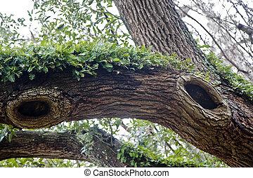 木, 巨人, オーク, 古い, knotholes