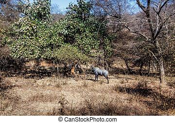 林間の空き地, 青, 雄牛