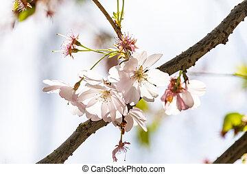 桜の木, 細部, つぼみ, 咲く
