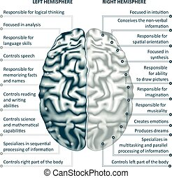 権利, イラスト, 半球, 脳, ベクトル, infographics, 左