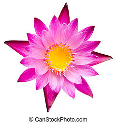 水, ∥あるいは∥, ユリ, 花, 咲いている花, ロータス, ピンク