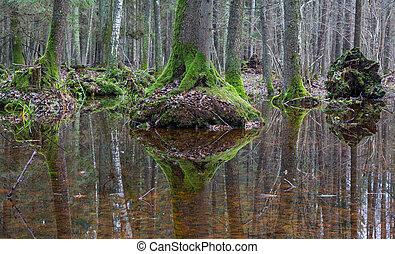 水, 古い, アルダー, 木, refleciting